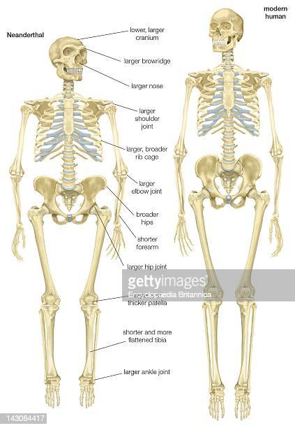 Skeleton Of A Neanderthal Compared With A Skeleton Of A Modern Human