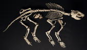 Skeleton of Alcidedorbignya and her foetus are displayed on April 9 2010 during the exhibition entitled 'In the Shadow of the Dinosaurs' at the...