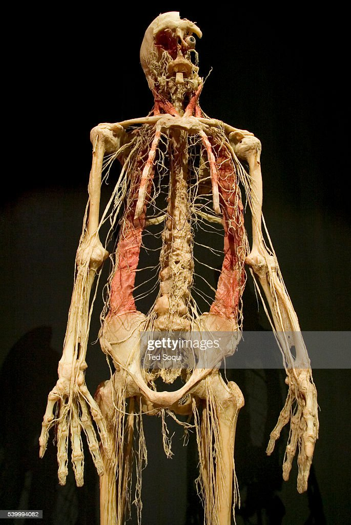 Skeleton with vascular track on exhibit at the American premiere of 'Body Worlds The Anantomical Exhibition of Real Human Bodies' at the California...