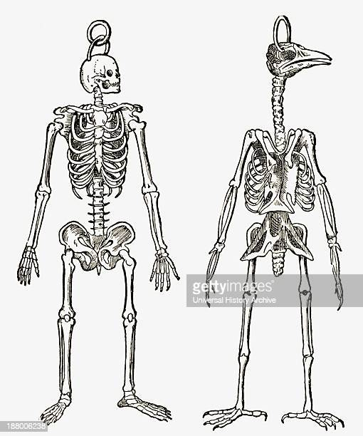 Skeletons Of A Man And A Bird Drawn To The Same Scale From The Strand Magazine Published 1897