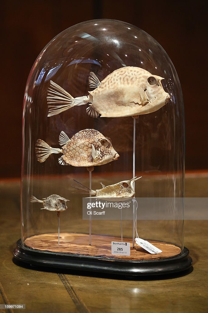 Skeletons of four varieties of boxfish, which are expected to fetch 800 GBP, is displayed in Bonhams auction house ahead of their forthcoming 'Gentleman's Library Sale', on January 24, 2013 in London, England. The auction includes an eclectic mix of rare items such as a pygmy hippo skeleton, a cigar that belonged to Winston Churchill and a MI9 spy catalogue. It will take place in Bonhams Knightsbridge on January 29 and 30, 2013.