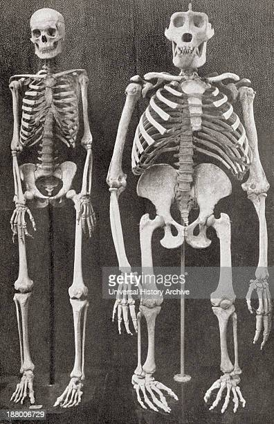Skeletons Of Man Left And Gorilla Right From The Living Animals Of The World Published C1900