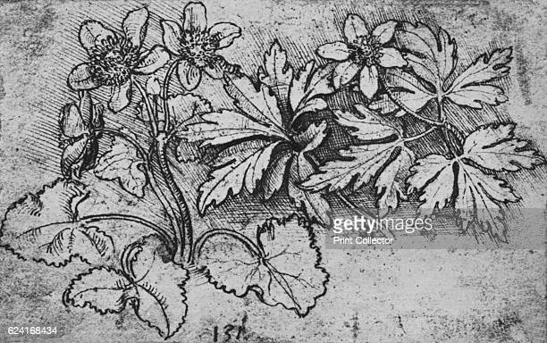 Sketch of a Plant' c1480 From The Drawings of Leonardo da Vinci [Reynal Hitchcock New York 1945] Artist Leonardo da Vinci
