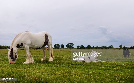 Cheval pie chevaux paissant, Figham, Beverley, dans le Yorkshire, au Royaume-Uni. : Photo
