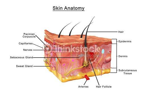 Anatomía De La Piel Foto de stock | Thinkstock