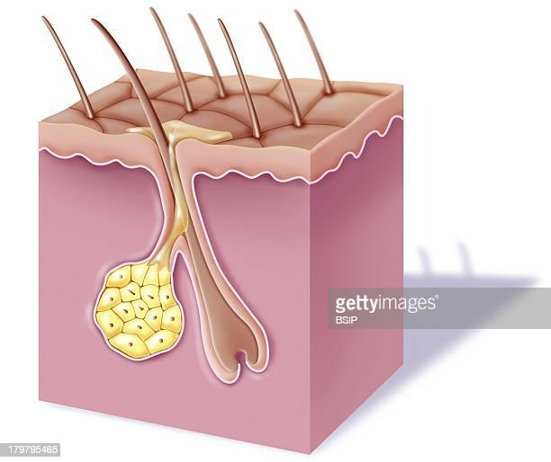 Skin Illustration CutawayView Of Tanned Skin With A Part Of The Skin Surface Hairs And Sebaceous Gland That Secrete Sebum Yellow