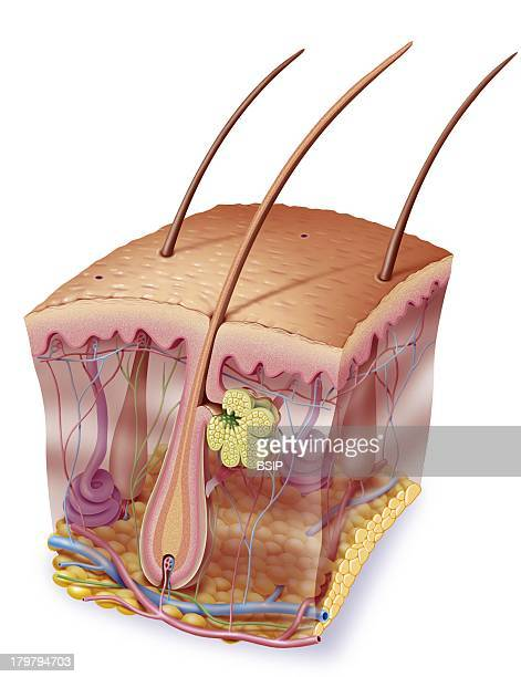 Skin Illustration Purple Erector Pili Muscle Nerve Endings Blood Vessels Hypodermis Or Cutaneous Tissue