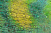 Skin of Johnston's Chameleon, Chamaeleo johnstoni, close-up