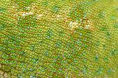 Macro shot of green skin of veiled chameleon (Chamaeleo calyptratus).