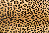 Close-up of surface skin leopard (Panthera pardus)