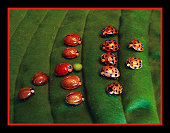 Skins VS Spots Ladybug Football