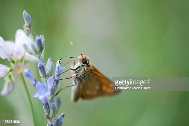 Skipper butterfly on lavender flowers