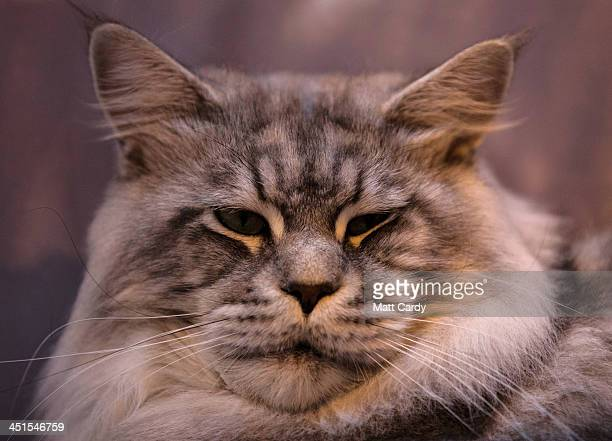 Skippy a Maine Coon cat looks out of his cage as he waits to be judged at the Governing Council of the Cat Fancy's 'Supreme Championship Cat Show' at...