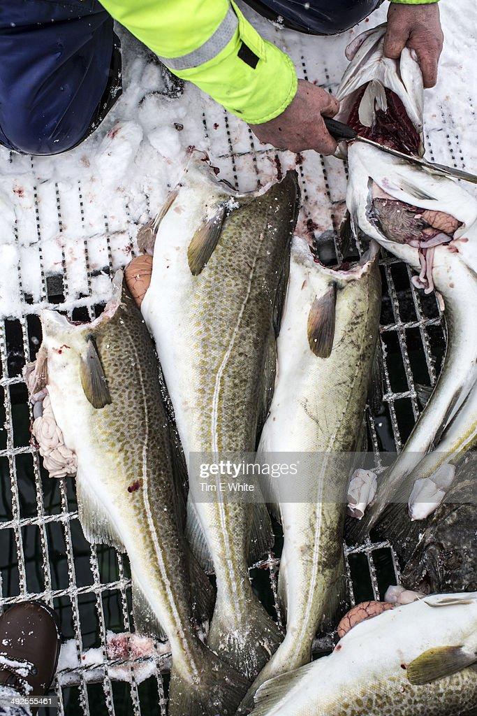Skrei fishing, Lofoten, Norway