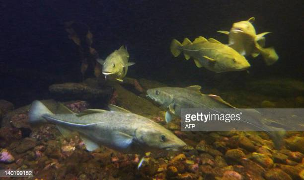 Skrei or migrating and spawning eastArctic cod are seen at the local aquarium in Norway's Arctic archipelago Lofoten on February 7 2012 Looking for...