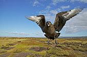 Skua, Catharacta antarctica, attack in flight, Falkland Islands