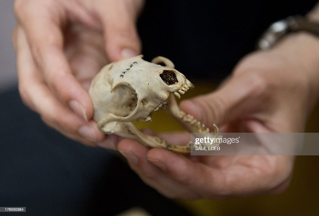 A skull from an olinguito, the first carnivore animal species to be discovered in the American continents in 35 years, is seen during a press conference announcing the discovery at the Smithsonian Institution in Washington, DC, August 15, 2013. The 2-pound (900 grams) mammal, the smallest member of the raccoon family, mainly eats fruit, insects and nectar, and can be found only in the cloud forests of the northern Andes Mountains in Ecuador and Columbia. AFP PHOTO / Saul LOEB