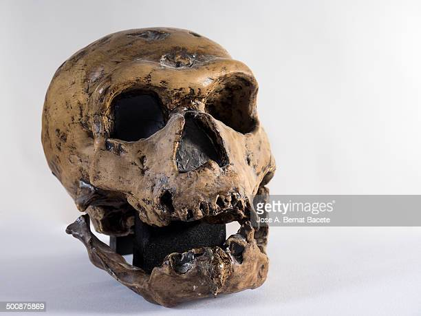 Skull of a Homo sapiens neanderthalensis