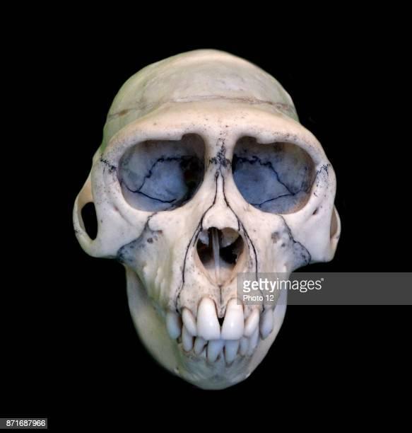 Skull of Macaca Mulatta Dated 1780