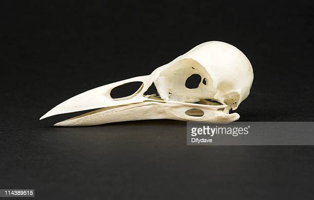 Skull Of Rook