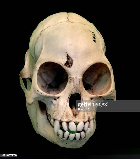 Skull of the Colobus Monkey Africa