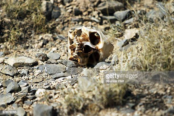 A skull recently discovered rests on the ground March 19 2010 in the county of Juarez Mexico The skull was discovered with other remains of what is...