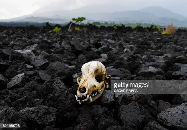 TOPSHOT A skull seen amid volcanic stones in the area of El Playon after the eruption of the San Salvador volcano in Quezaltepeque 21 km from San...