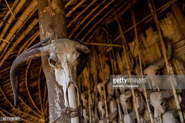 Skulls of a buffalo