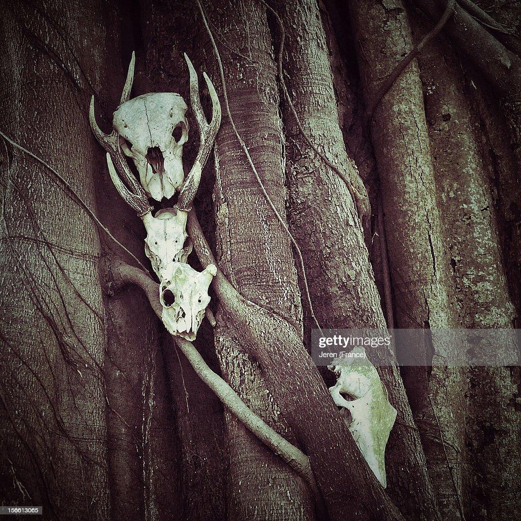 Skulls of wild animals resting on a giant tree : Stock Photo