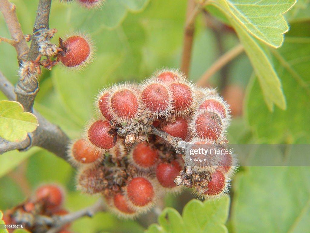 Skunkbush Sumac Fruits : Stock Photo
