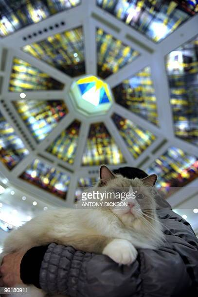 Sky a Rag Doll cat is held by its owner during the 2010 UFO 'Year of the Tiger' Champion Cat Show in Hong Kong on January 23 2010 Over 300 cats were...