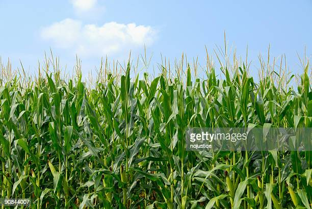 Sky and Corn