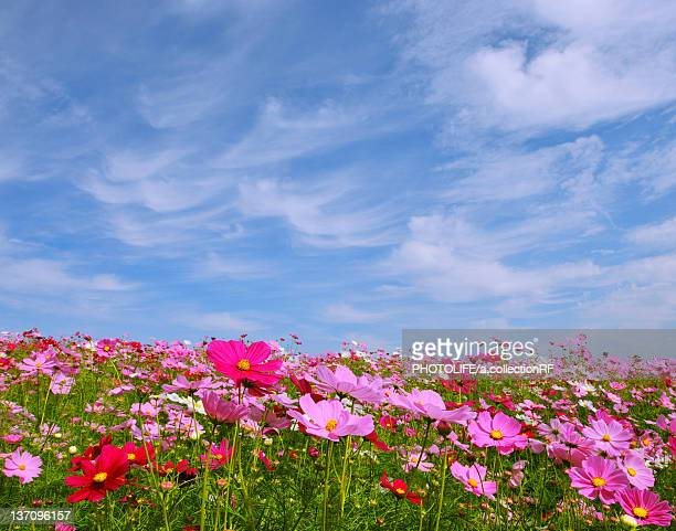 Sky and Cosmos Flowers