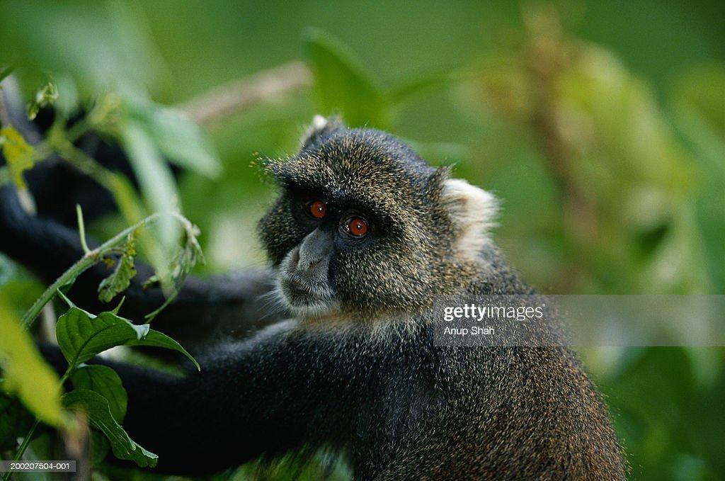 Skyes' monkey (cercopithecus albogularis kolbi) watching, close up, MT.Kenya, Kenya : Stock Photo
