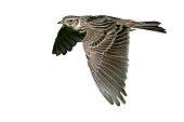 Skylark, Alauda arvensis, single bird in flight, Hebrides, Scotland