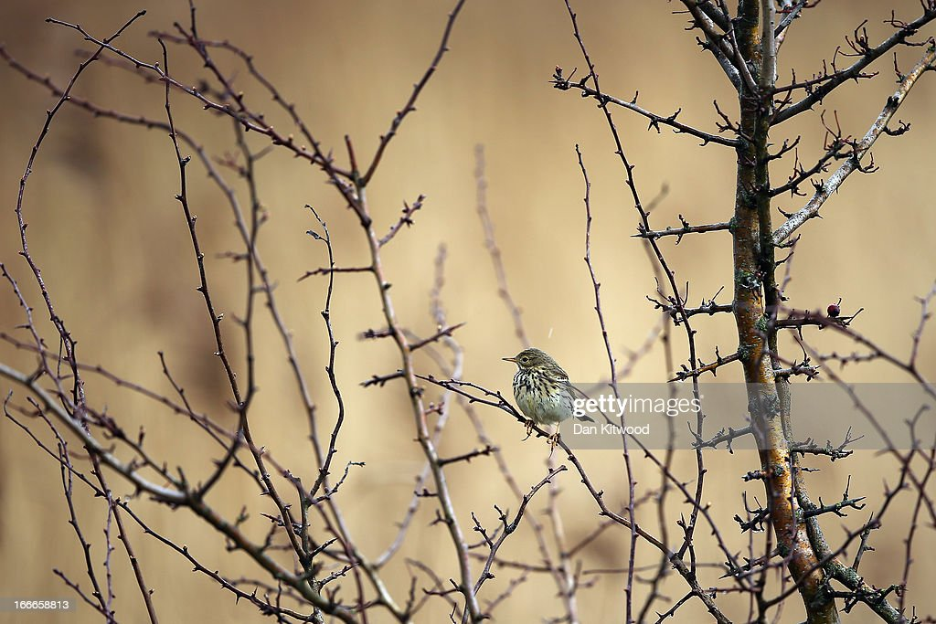 A Skylark sits in a tree at Elmley Marshes on April 12, 2013 in Sheerness, England. The RSPB's Elmley Marshes lies on the Isle of Sheppy, and is managed by the Elmley Conservation Trust. The three and a half acre reserve has the highest density of breeding waders in southern England including Avocet and Redshank. The area is also known to be one of the best sites in the UK to view birds of prey which include Peregrine Falcon, Marsh and Hen Harriers, Rough Legged Buzzards and Short Eared Owl.