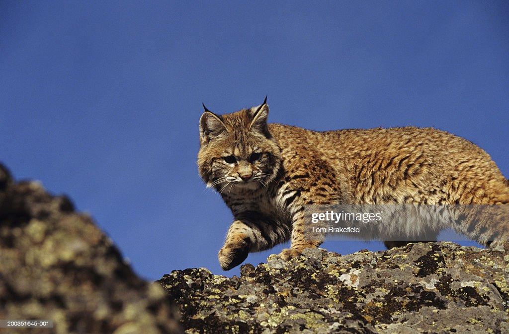 Skylined bobcat, Colorado, USA