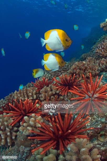Slate pencil sea urchins Heterocentrotus mammillatus color the foreground of this Hawaiian reef scene with pyramid butterflyfish Hemitaurichthys...