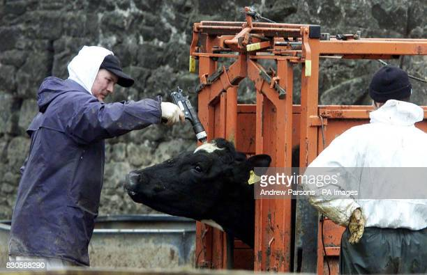 A slaughterman shoots a cow with a bolt gun on a farm in Lamonby near Penrith in Cumbria due to the footnadmouth disease outbreak * Prime Minister...