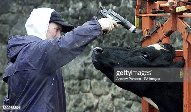 A slaughterman shoots a cow with a bolt gun on a farm in Lamonby near Penrith in Cumbria due to the footandmouth disease outbreak * Prime Minister...