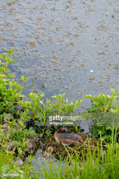 Slavonian grebe on its nest along Lake Myvatn in Northeast Iceland