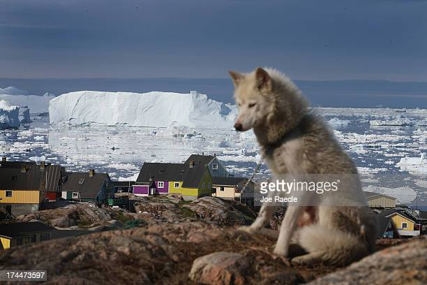 A sled dog is seen as icebergs that broke off from the Jakobshavn Glacier are in the water on July 17 2013 in Ilulissat Greenland As Greenlanders...
