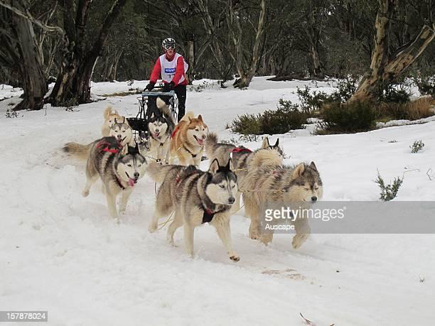 Sled dog racing Dinner Plain near Mount Hotham northeastern Victoria Australia