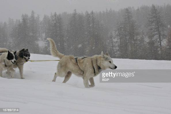 Sled Dog Sled Dogs In The QueyrasDepartment Of HautesAlpes France