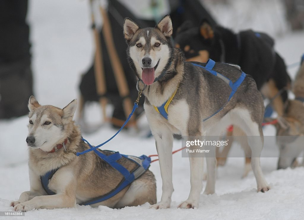 Sled dogs are seen at Motown Winter Blast at Campus Martius Park on February 10, 2013 in Detroit, Michigan.