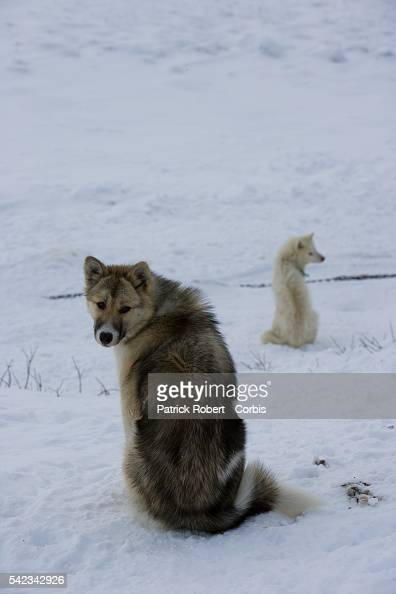 Sled dogs Though the disappearing ice cap could lead to higher sea levels all over the world Greenland's Inuit population are the first to feel the...