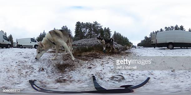 Sledders and their huskies practice at a forest course ahead of the Aviemore Sled Dog Rally on January 19 2016 in Feshiebridge Scotland Huskies and...