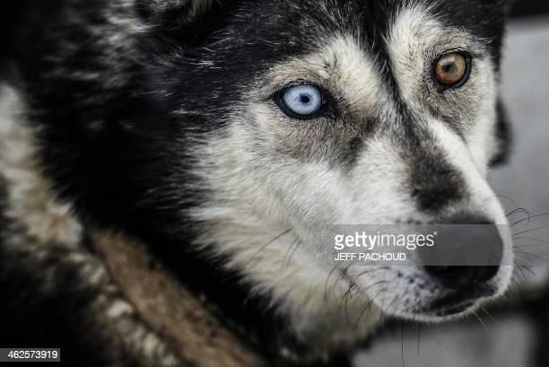 A sledding dog is pictured before the start of a stage of the Grande Odyssee sledding race across the Alps on January 13 2014 in SixtFeraCheval AFP...