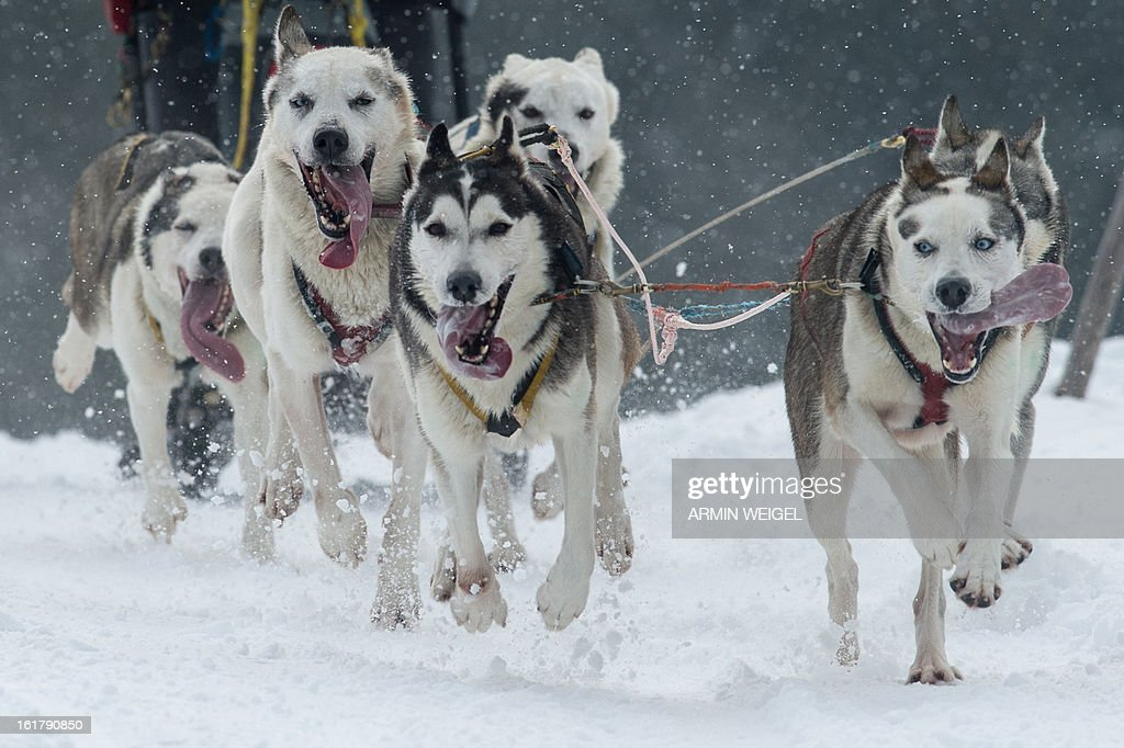 Sledge dogs pull their musher as they compete in the sledge dog European Championships in Haidmuehle, southern Germany, on February 16, 2013. Around 200 mushers with 2,000 dogs are taking part in the event.