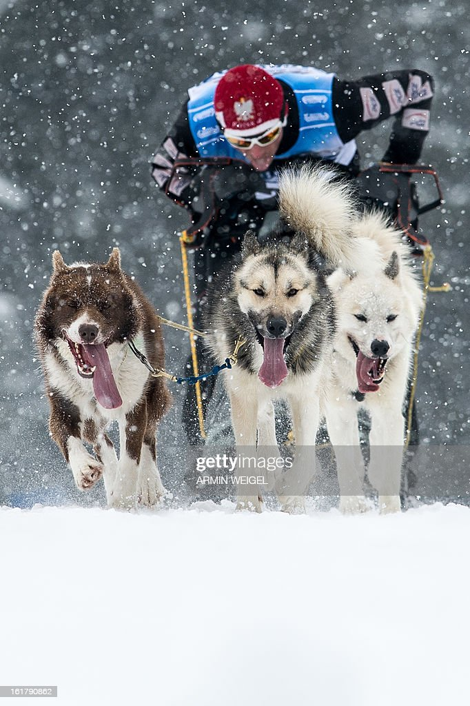 Sledge dogs pull their musher as they compete in the sledge dog European Championships in Haidmuehle, southern Germany, on February 16, 2013. Around 200 mushers with 2,000 dogs are taking part in the event. AFP PHOTO / ARMIN WEIGEL GERMANY OUT